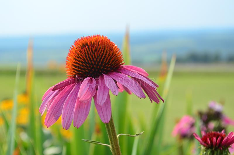One pink coneflower in a colorful garden stock image