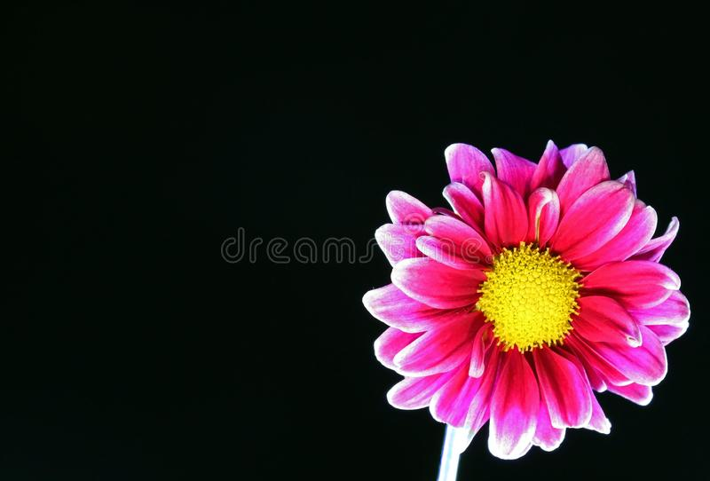 One pink daisy flower isolated on black background with copy space on the left royalty free stock photo