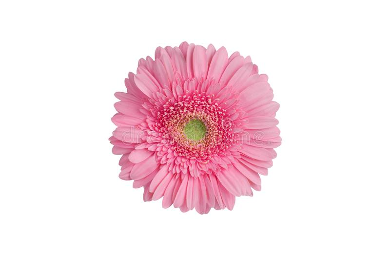 One pink gerbera flower on white background isolated close up, red gerber flower macro, daisy head top view, floral patt stock photo