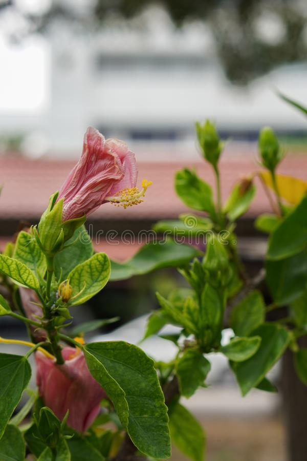 One Pink Hibiscus Flower on blur background,copy space. Decoration home stock image