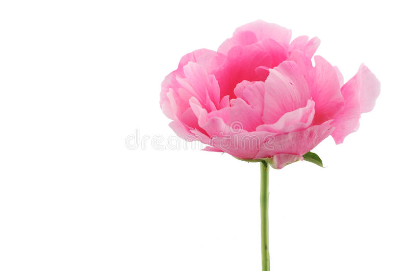 One pink peony. One pink peony isolated on white background stock images