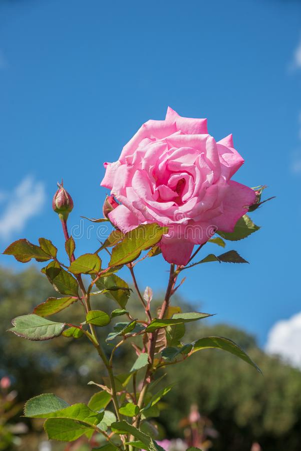 One pink rose blossom and buds, against blue sky with copy space stock photos
