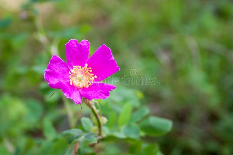 One pink rosehip flower on a green background stock photos