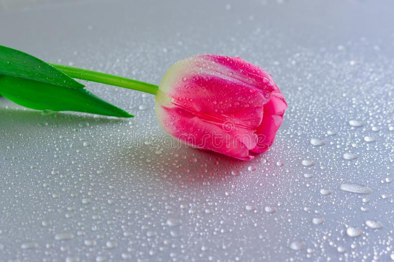One pink tulip flower on grey neutral background with waterdrops. Copy space. Womens, mothers, valentines stock photo