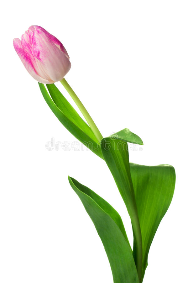 One pink tulip isolated on white