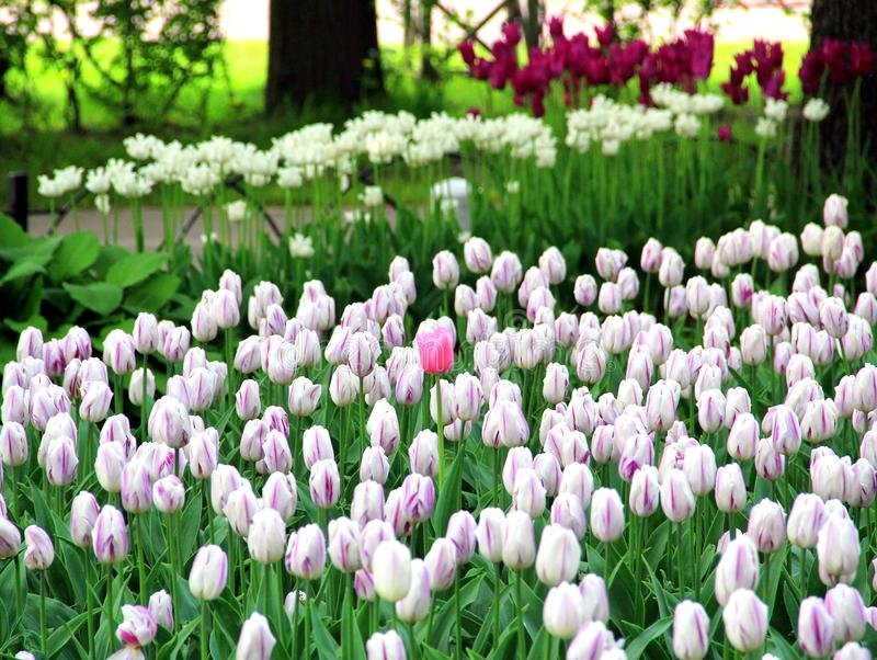 One pink Tulip among white royalty free stock photography