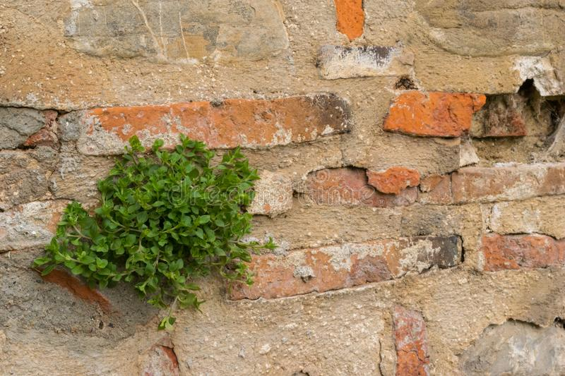 One plant growing from a crack inside an old brick wall royalty free stock photo