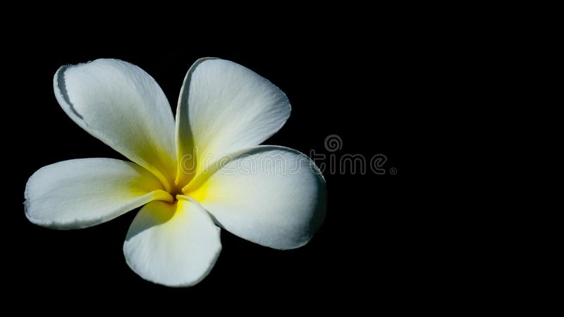 One Plumeria on black background with cliping path stock photography