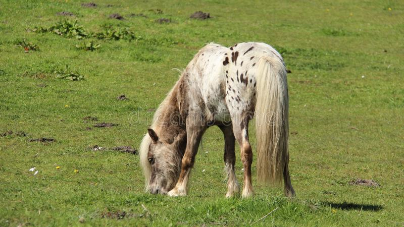 Young Pony Horses Graze And Relax On Green Fields stock photos