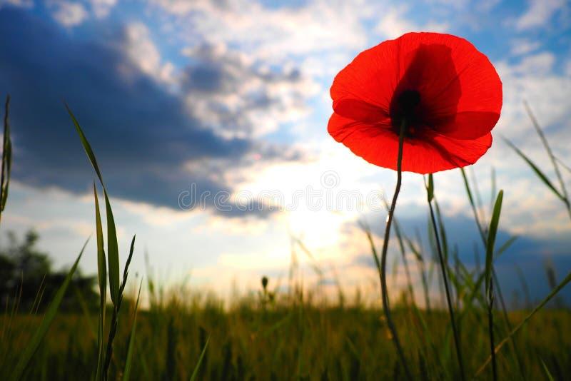 One poppy royalty free stock image