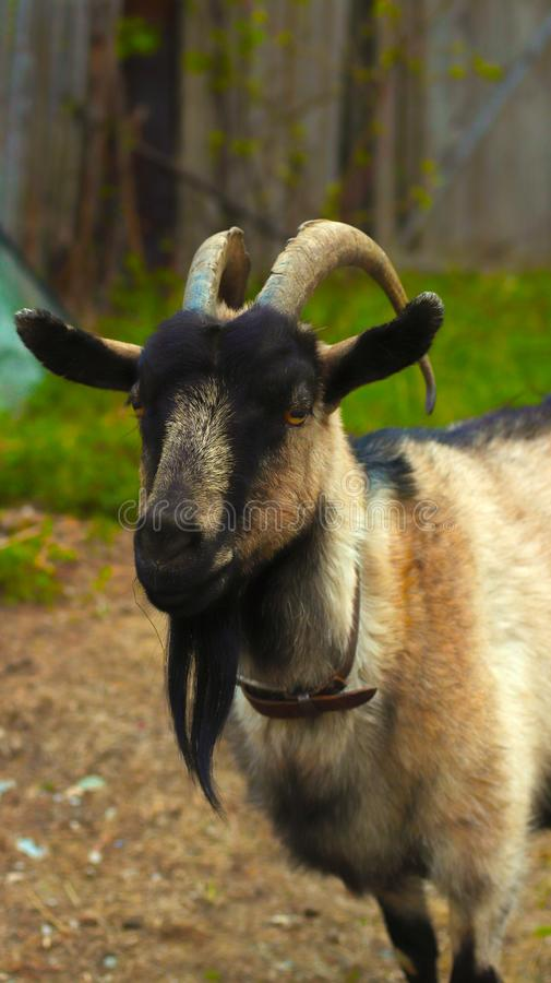 One portrait farm animal goat in the wood stock photo