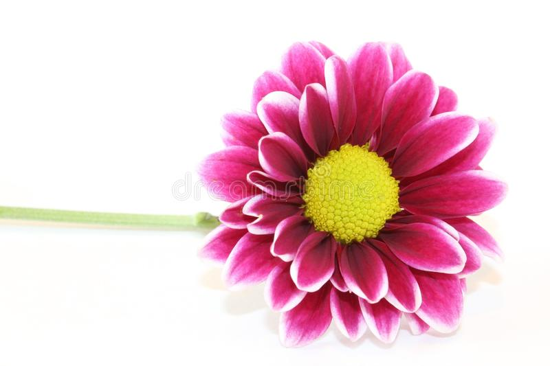 One purple daisy flower with stem isolated on white background. Close up photo of a single purple daisy flower with a yellow center isolated on a white stock photo