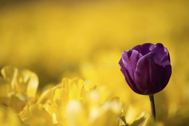 One purple tulip among row royalty free stock photo