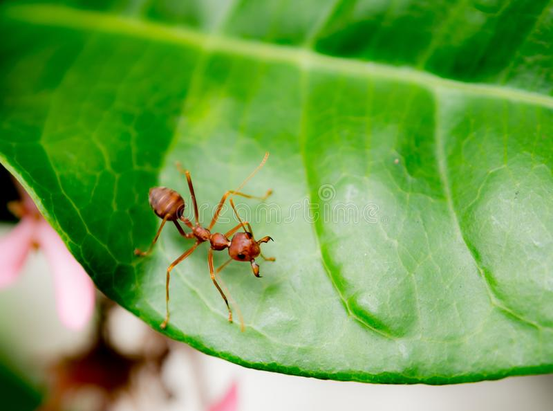 One red ant macro photography on green leaf. Beautiful One red ant Solenopsis geminata macro photography on green leaf royalty free stock image