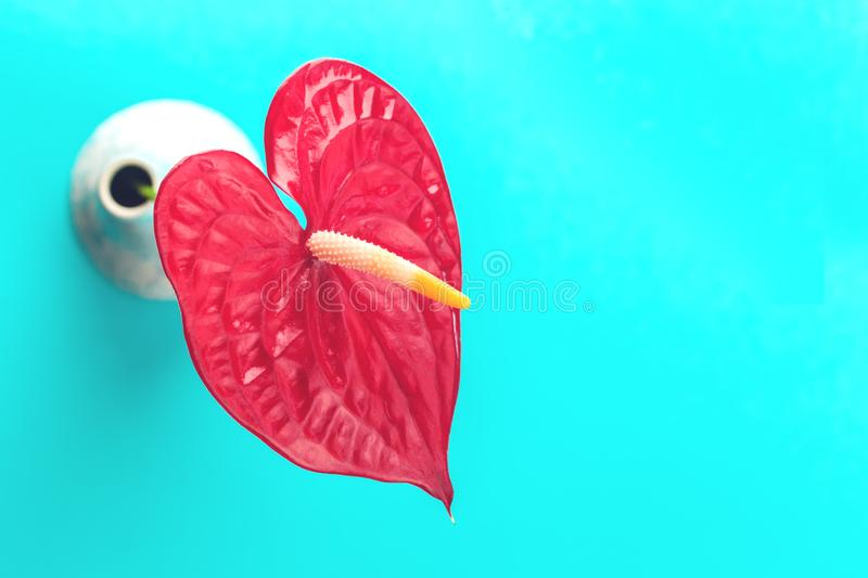 One red flamingo flower in vase, Pigtail Anthurium flamingo flower stock photography
