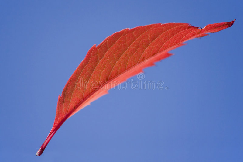 Download One red flying leaf stock photo. Image of natural, leaves - 1424770
