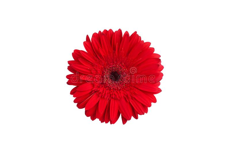 One red gerbera flower on white background isolated close up, orange gerber flower macro, daisy head top view, floral pattern stock photo