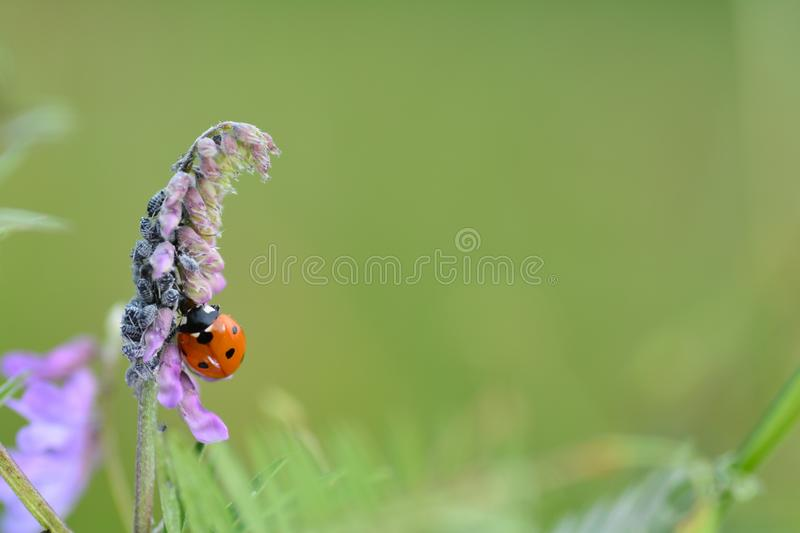 One red Ladybug     Coccinellidae    on plant in green nature stock photography