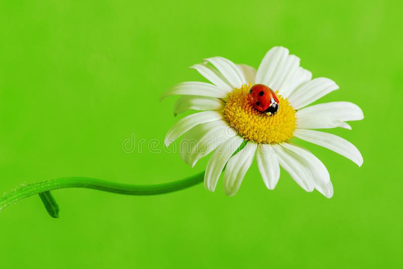 One red ladybug on a marguerite. One red ladybug on a marguerite on a green background stock image