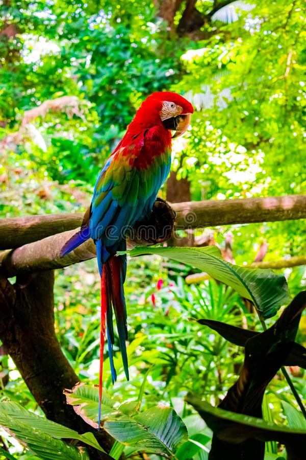 One red macaw in north brazil stock photography
