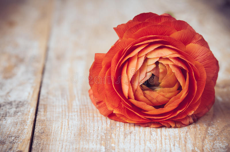 One red-orange buttercup flower stock photos