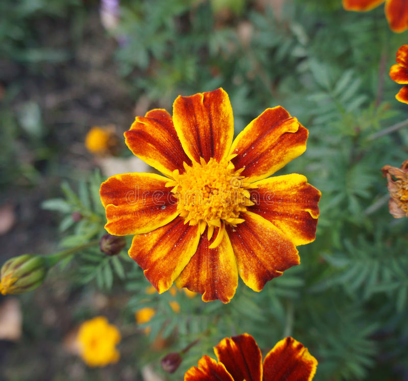 One red and orange French Marigold flower.  stock photography