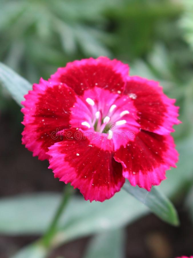 One red and pink romantic flower dianthus. Detail of bloom royalty free stock image