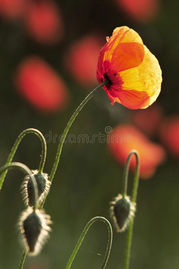 One red Poppy royalty free stock images
