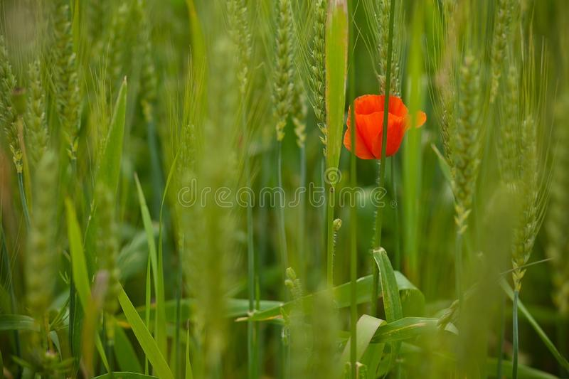 One red poppy flower on background of green meadow. stock image