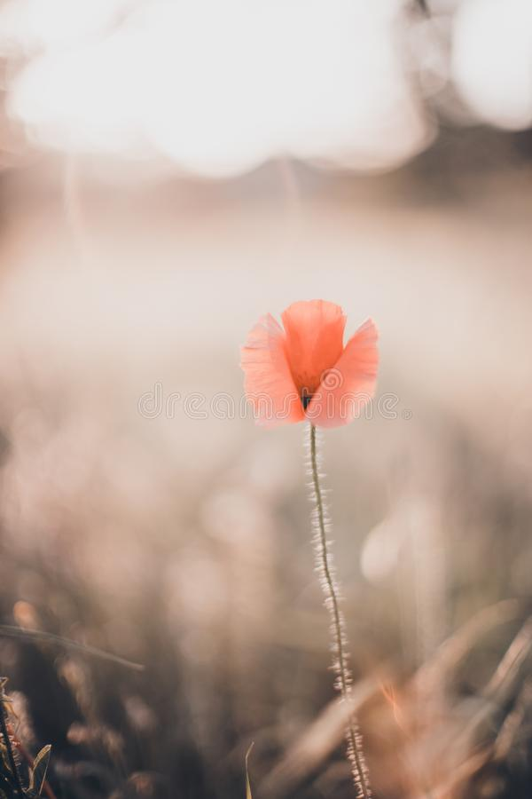 One red poppy flower growing on a field in bright evening light.  royalty free stock photos