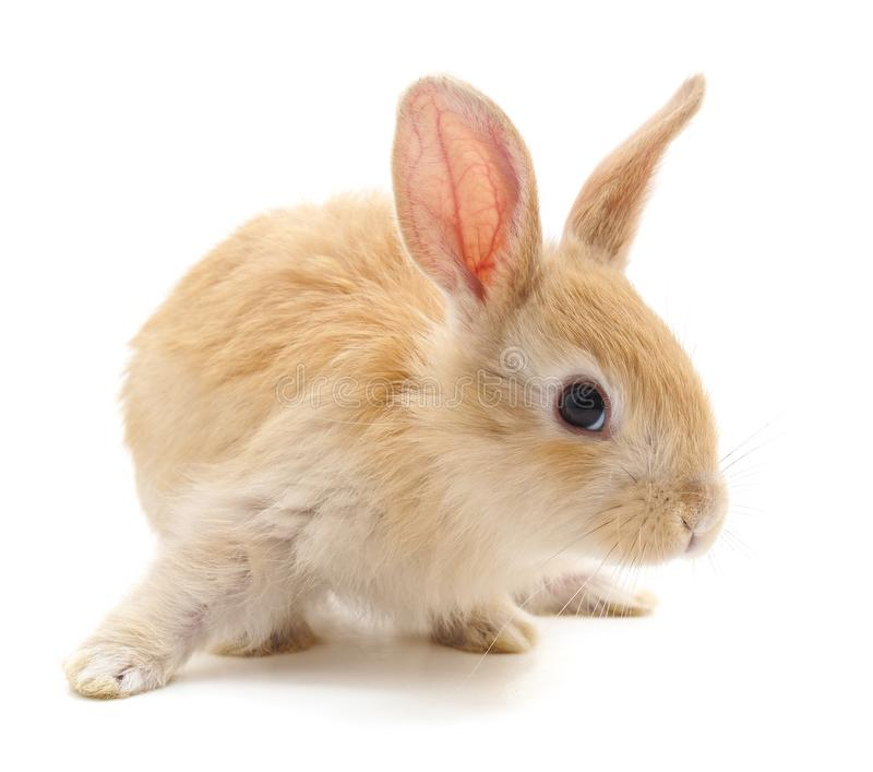 One red rabbit. stock images