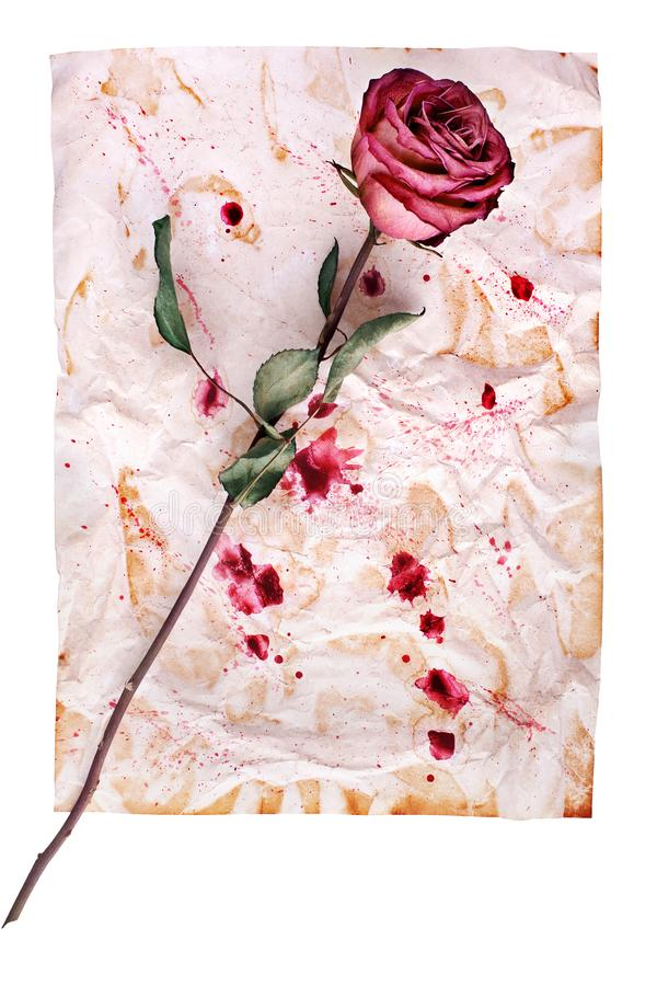 One red rose flower on crumpled aged paper background with paint blots close up isolated on white. Holiday invitation or greeting card design, romantic vintage royalty free stock photos