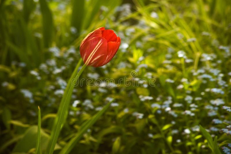 One red tulips among the green. Is close, bright, plant, flower, spring, vibrant, colorful, nature, garden, petal, beautiful, season, summer, grass, bloom stock photos
