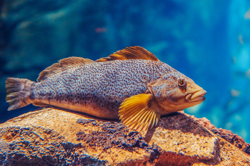 One red yellow large fish in blue water, colorful underwater world stock photos