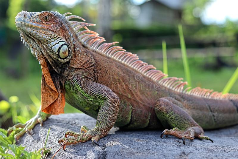 Iguana, the beautiful little reptile royalty free stock images