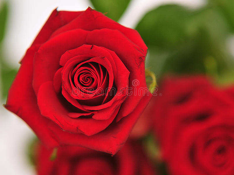 Download One rose stock photo. Image of romance, fresh, flower - 14385712