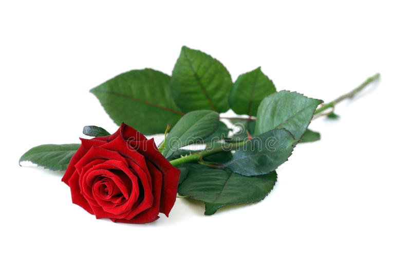 Download One rose. stock image. Image of holiday, white, perfection - 9492615