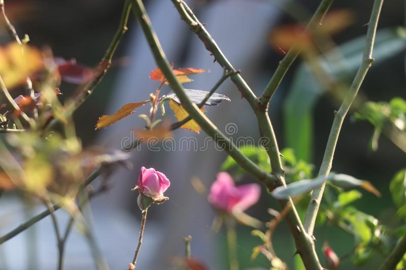 Only one rose sharp focus and holds sunlight royalty free stock photo