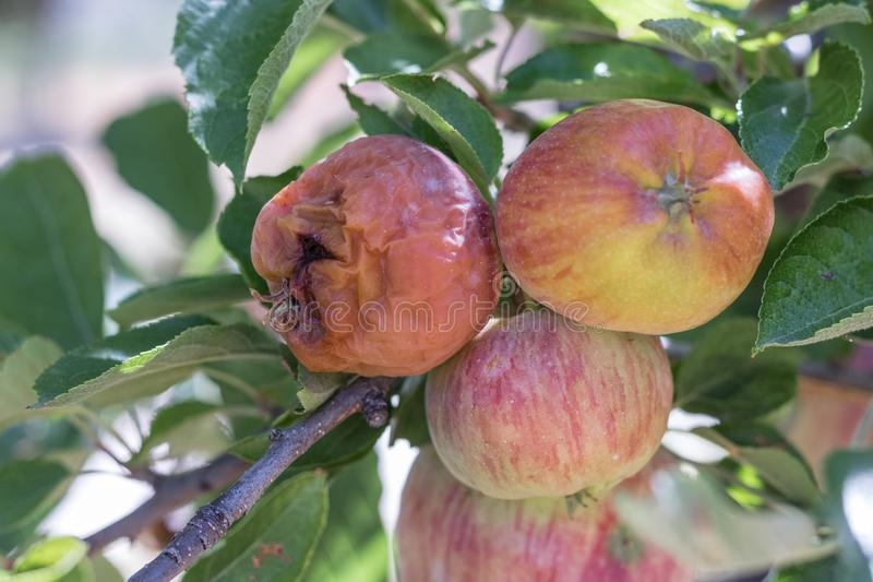 One rotton apple and two fresh ripe natural red heirloom, organic apples close up on branches in a tree, harvest pest problems. One bad apple royalty free stock image