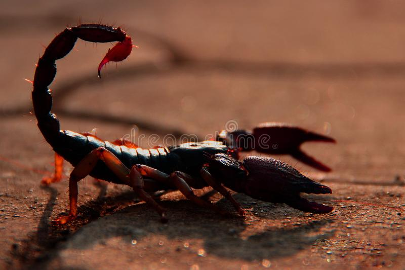 One Scorpion stock photo