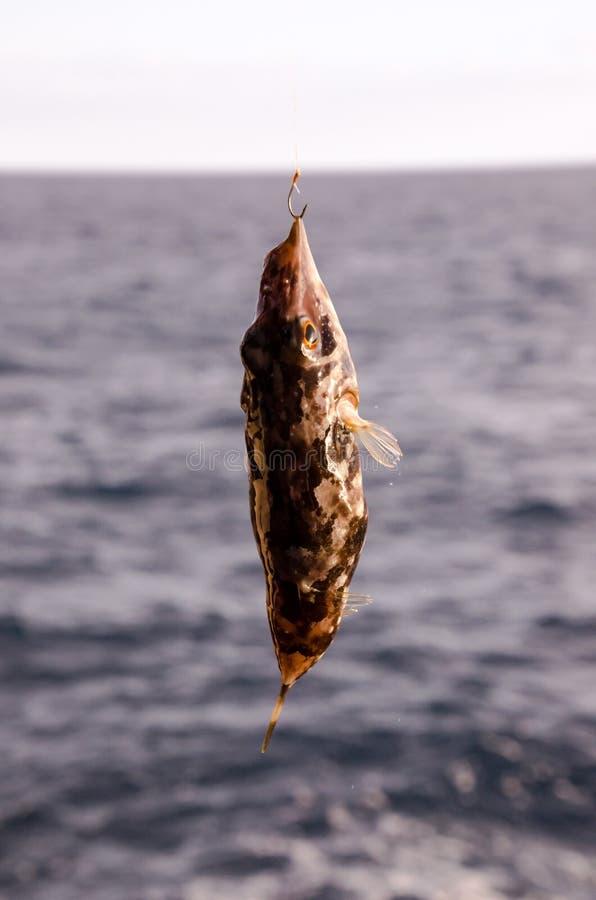 One Sea Fish Hooked royalty free stock photo