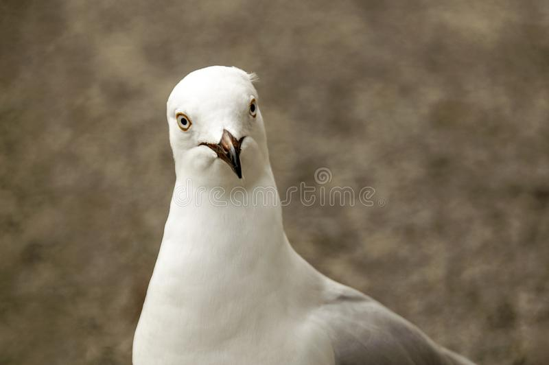 Silver Gull face only, sharp, clear, bright eyed royalty free stock photos