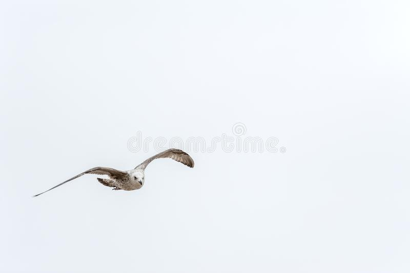 One seagull flying under a cloudless sky. One flying gray seagull. Photo taken in Poland, on the Baltic Sea royalty free stock photos