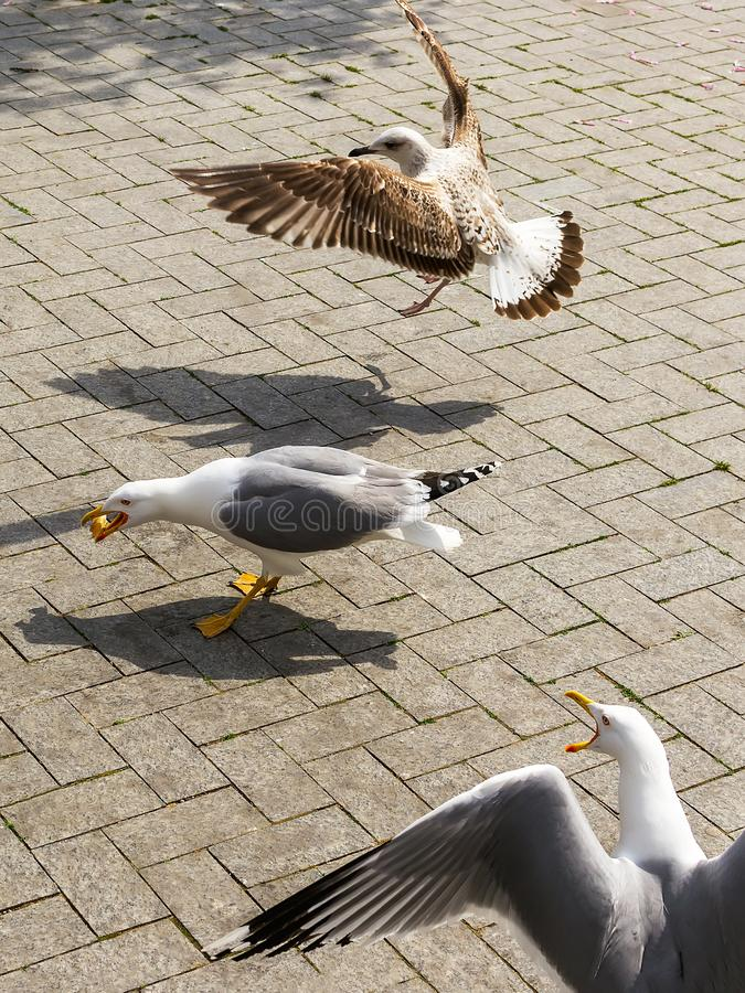 One seagull got some food from peolple. Two more seagulls flew to it and want food too. Tree seagulls on the street of a seaside royalty free stock photography