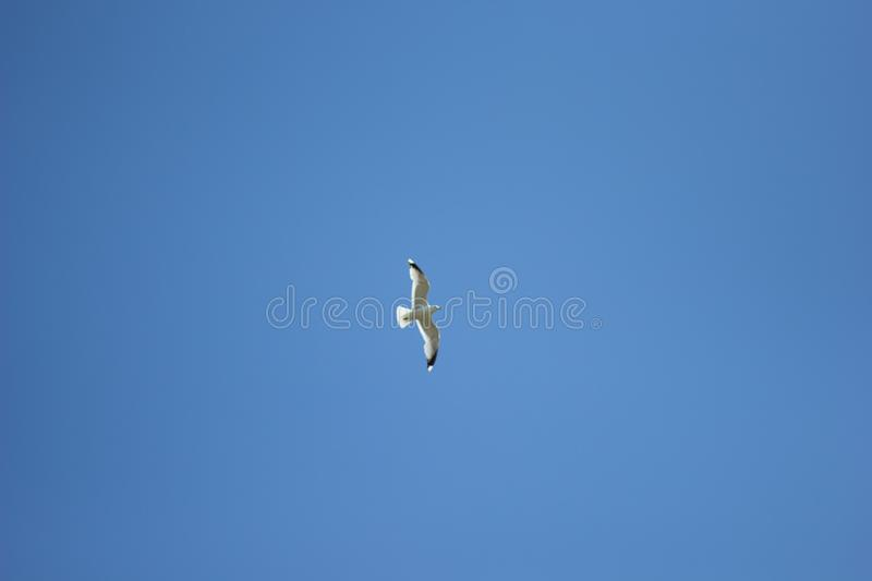One seagull soaring highly in the blue sky stock images