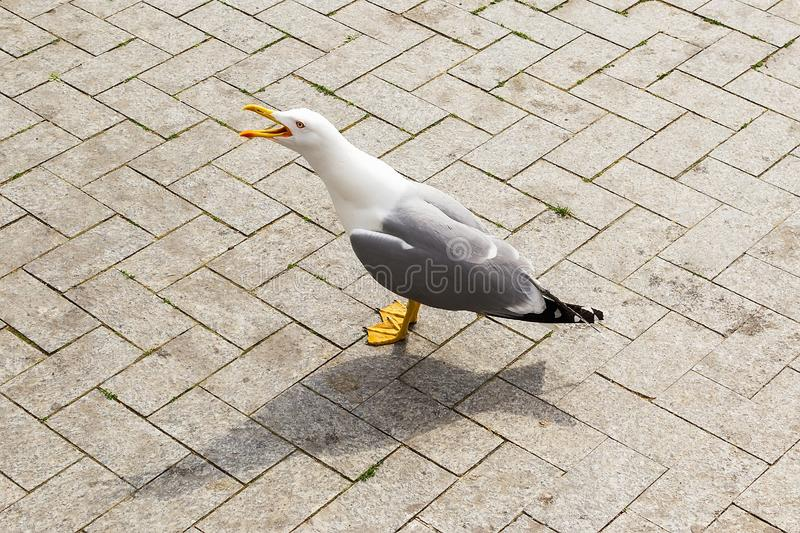 One seagull with white gray plumage and yellow beak and legs strolls on the street of a seaside city on a sunny day. Wild sea bird on the sidewalk royalty free stock photo