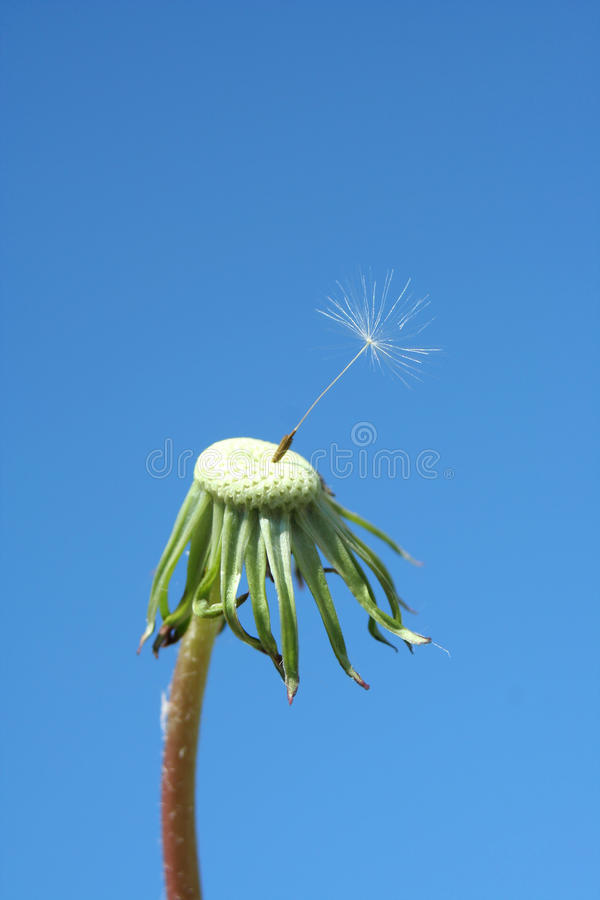 Free One Seed Dandelion Clock Royalty Free Stock Photo - 13940685