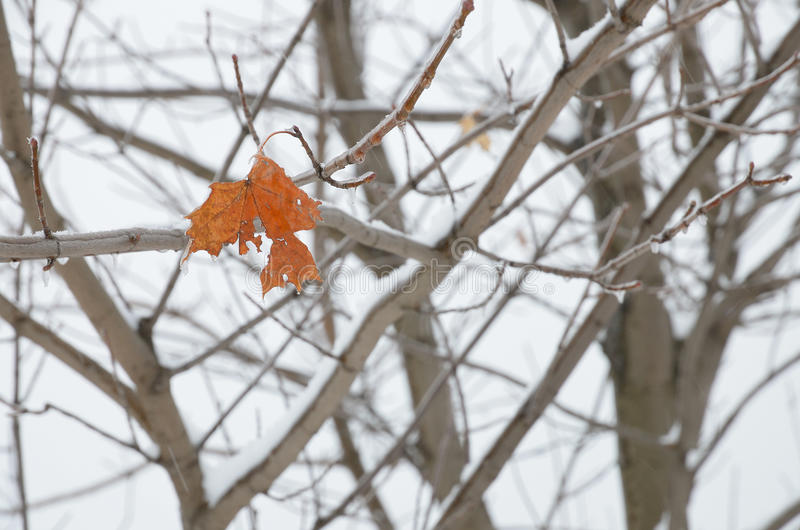 One shabby leaf on maple branches in winter royalty free stock photos