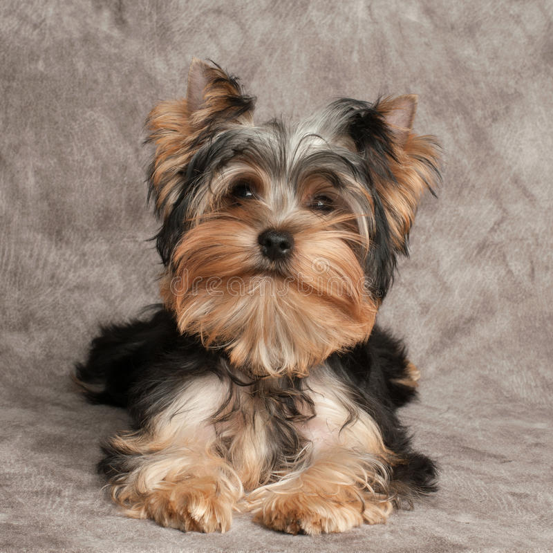 Download One shaggy puppy stock photo. Image of brown, looking - 34255232
