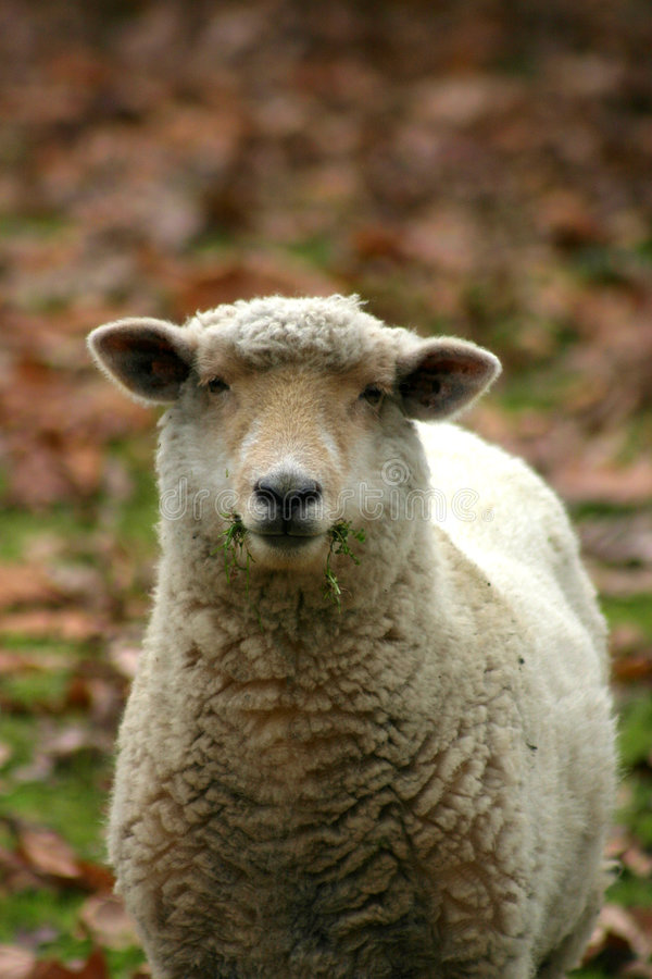 Free One Sheep Royalty Free Stock Photos - 722328